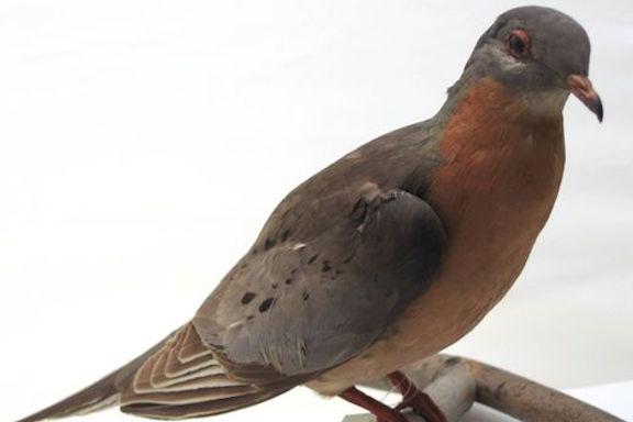 passenger pigeon stuffed
