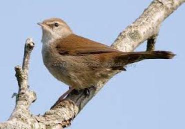 Ceti's warbler